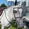 Snort getting ready for hunter pleasure class 10-12-2014